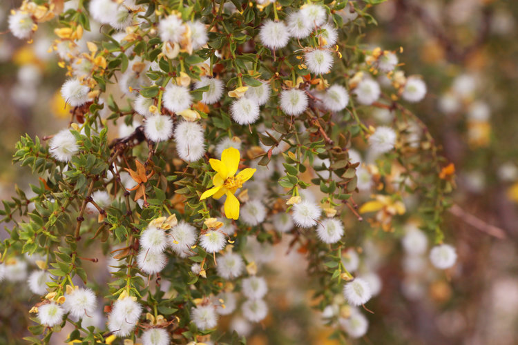 The Wild World of the Creosote Bush