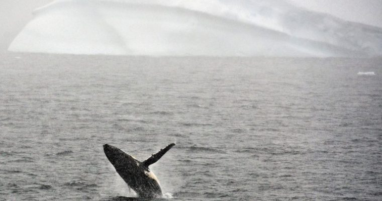Humpback Whale Baby Boom Near Antarctica