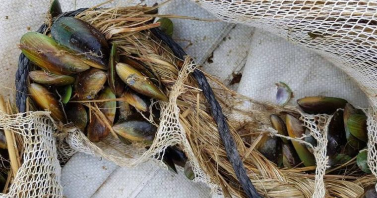 Māori Mussel Memory