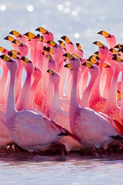 Flamingo.Mating Ritual | Alex Shaw