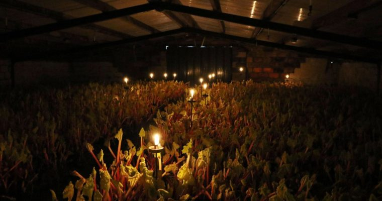 The English vegetable picked by candle light